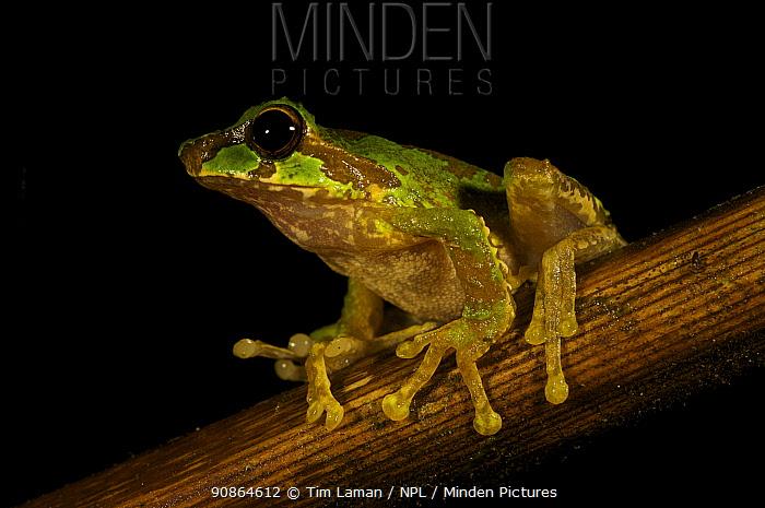 Tree frog (Litoria arfakiana), found at 1650 m altitude. Foja Mountains, Papua, Indonesia, 2008. (taken during Conservation International Rapid Assessment Program expedition)
