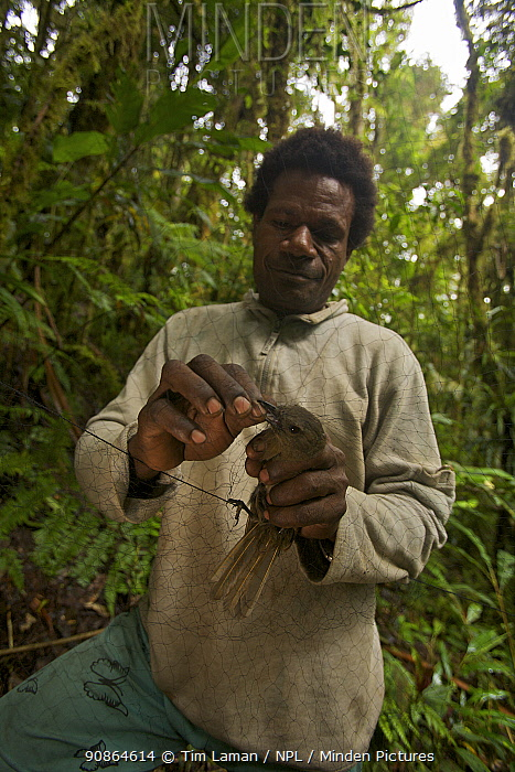 Foja Mountains RAP expedition field assistant Bastian Tawane removes a female Black Pitohui (Pitohui nigrescens) from a mist net. Papua, Indonesia, 2008. (taken during Conservation International Rapid Assessment Program expedition)