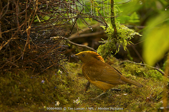 Golden-fronted / Yellow-fronted Bowerbird (Amblyornis flavifrons) male at his bower.