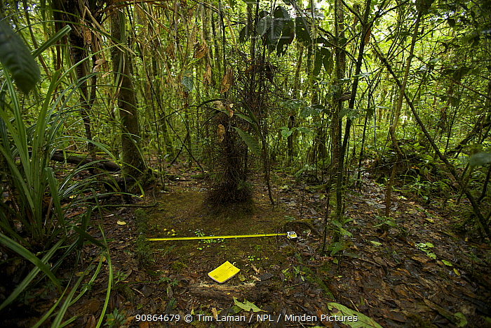 Bower of the Golden-fronted Bowerbird (Amblyornis flavifrons) with scientists' measuring tape and notebook, Foja Mountains, Papua, Indonesia, 2008. (taken during Conservation International Rapid Assessment Program expedition)