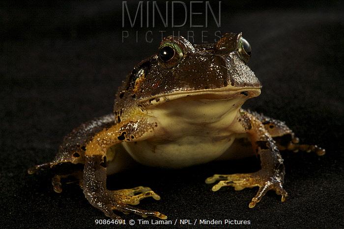 Frog (Lechriodus melanopygon) juvenile portrait. Found at 1200 m altitude, Foja Mountains, Papua, Indonesia, 2008. (taken during Conservation International Rapid Assessment Program expedition)