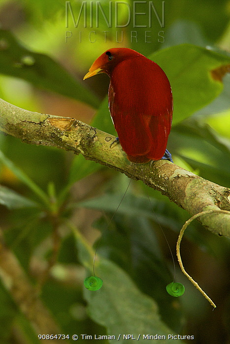 King Bird of Paradise (Cicinnurus regius) male, New Guinea