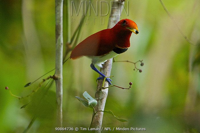 King Bird of Paradise (Cicinnurus regius) male with a fruit in its beak. New Guinea