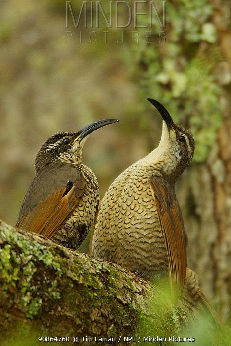 Paradise Riflebird (Ptiloris paradiseus) young males size each other up between practice displays. Australia