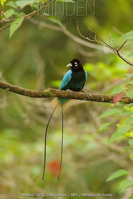 Blue Bird of Paradise (Paradisaea rudolphi) male, Papua New Guinea