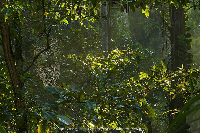 Early morning light in the rainforest of Halmahera Island, Maluku Islands Indonesia. July 2008