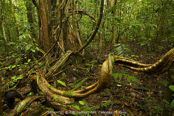 Lowland rainforest interior view with lianas (Bauhinia sp. ) around the base of a large tree. West Papua, New Guinea