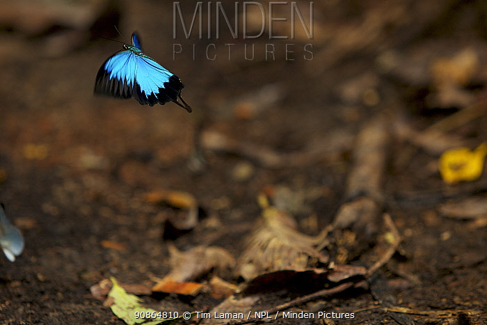 Mountain blue (Papilio ulysses) butterfly in flight, West Papua