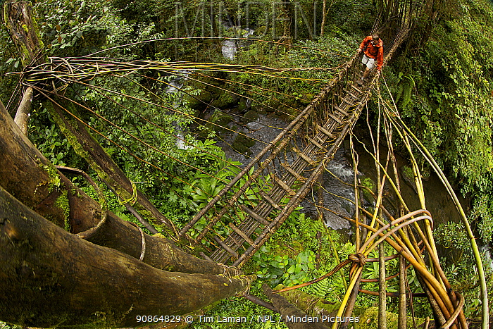 Tim Laman crossing a pole and vine bridge over a rainforest river in the Huli territory of Tari Valley, Papua New Guinea.