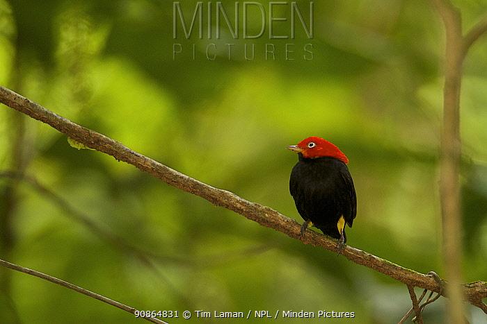 Adult male Red-capped Manakin (Pipra mentalis) at a display perch. Soberania National Park, Gamboa, Panama, December.