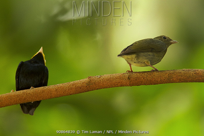 Female Golden-headed Manakin (Pipra erythrocephala) visiting a male at his display perch. Tiputini Biodiversity Station, Amazon Rainforest, Ecuador, January.
