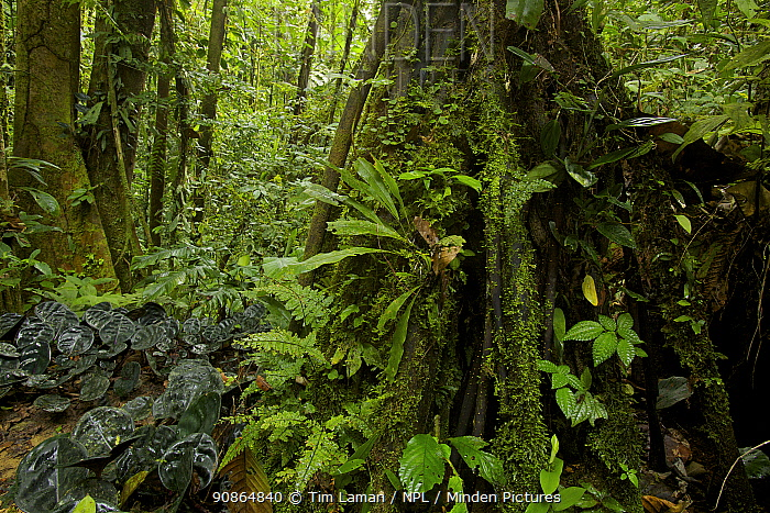 Amazon rainforest interior view. Tiputini Biodiversity Station, Amazon Rainforest, Ecuador, January.