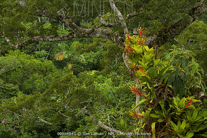Amazon rainforest canopy view with flowering Bromeliad epiphytes growing on a branch of a giant Cieba tree. Tiputini Biodiversity Station, Amazon Rainforest, Ecuador, January.