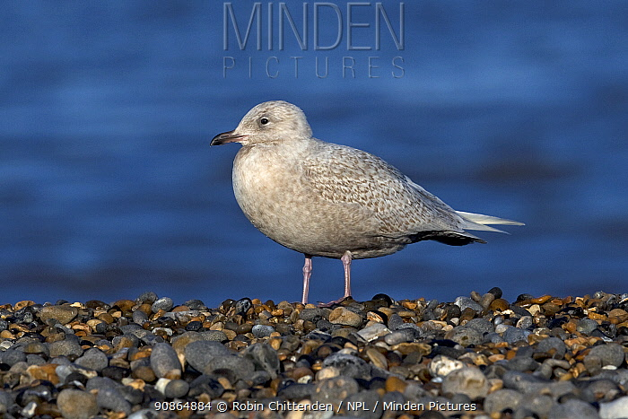 Iceland gull (Larus glaucoides) standing on pebble beach, Weybourne, Norfolk, UK. December.