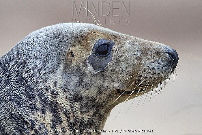 Close up of Grey seal (Halichoerus grypus) head portrait in profile, Norfolk, UK. December.