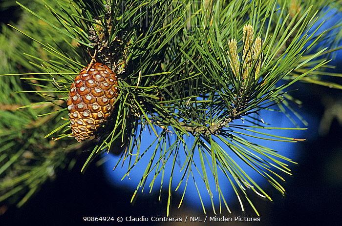 Guadalupe Island pine tree (Pinus radiata var. binata) cone, Guadalupe Island Biosphere Reserve, off the coast of Baja California, Mexico, February