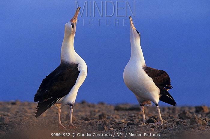 Laysan albatross (Phoebastria immutabilis) pair skypointing as part of the courtship, Guadalupe Island Biosphere Reserve, off the coast of Baja California, Mexico, February. Sequence 2 of 2