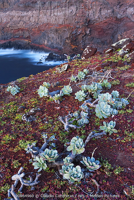 Guadalupe cistanthe (Cistanthe guadalupensis) succulent, Negro Islet with main island in the back, Guadalupe Island Biosphere Reserve, off the coast of Baja California, Mexico, March