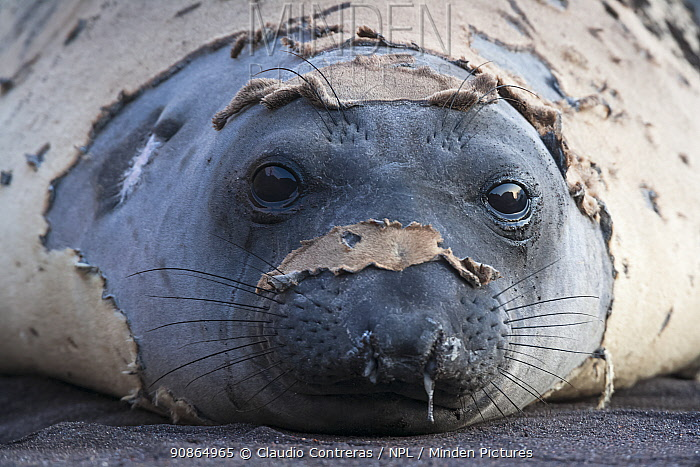 Northern elephant seal (Mirounga angustirostris) moulting fur, Guadalupe Island Biosphere Reserve, off the coast of Baja California, Mexico, April