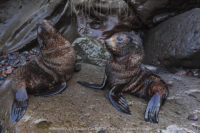 Guadalupe fur seal (Arctocephalus townsendi) pups, Guadalupe Island Biosphere Reserve, off the coast of Baja California, Mexico, September