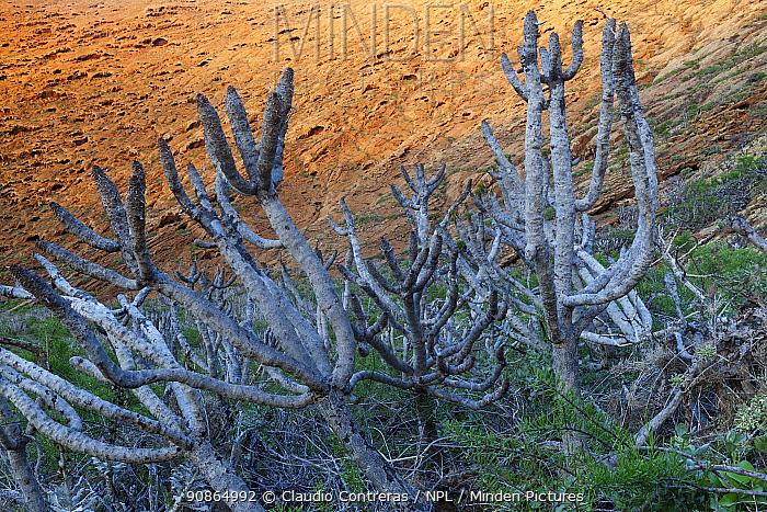 Giant coreopsis (Coreopsis gigantea), Zapato Islet, Guadalupe Island Biosphere Reserve, off the coast of Baja California, Mexico, September