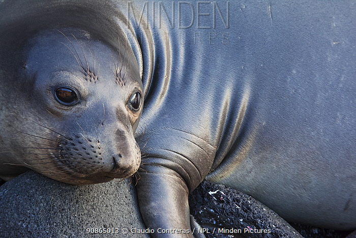 Northern elephant seal (Mirounga angustirostris) juvenile, Guadalupe Island Biosphere Reserve, off the coast of Baja California, Mexico, September