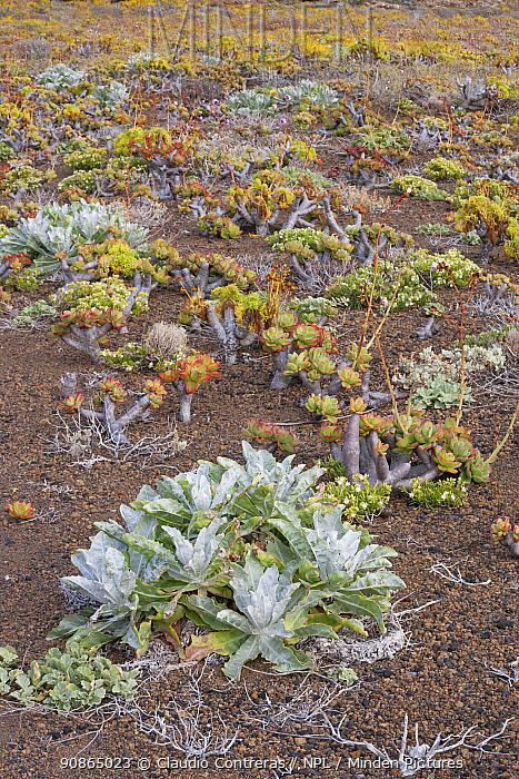 Guadalupe Island wirelettuce (Stephanomeria guadalupensis) inside the crater, Zapato Islet, Guadalupe Island Biosphere Reserve, off the coast of Baja California, Mexico, April