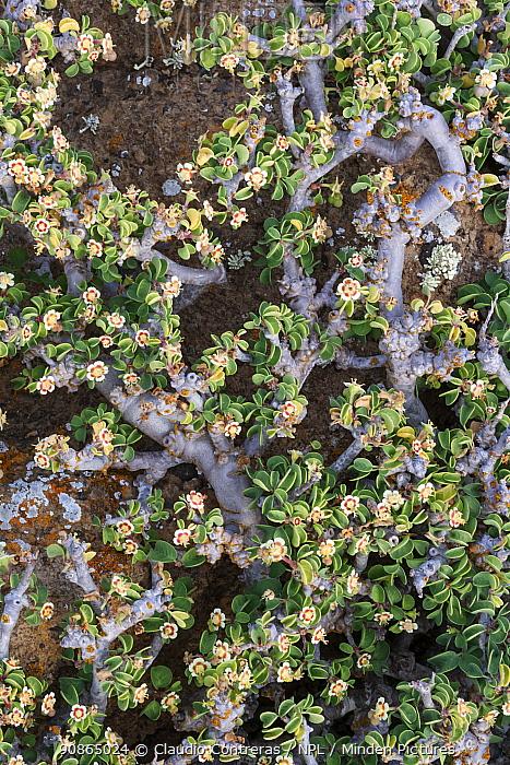 Cliff spurge (Euphorbia misera) flowers, Zapato Islet, Guadalupe Island Biosphere Reserve, off the coast of Baja California, Mexico, April