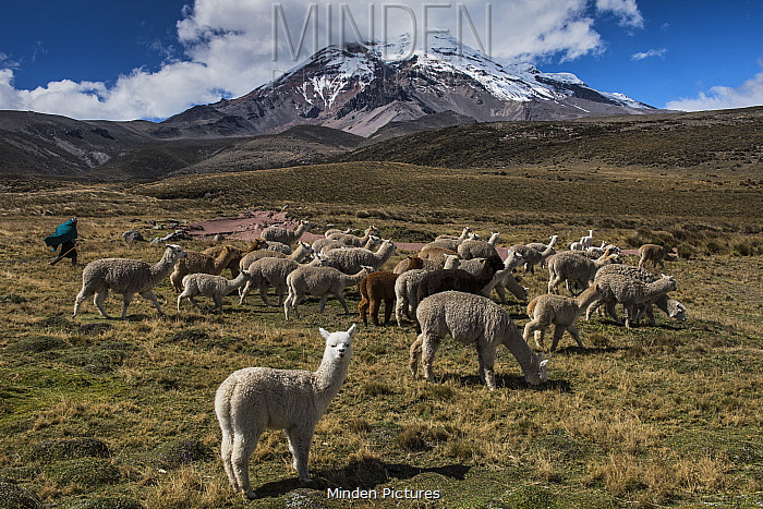 Chimborazo Volcano, and Alpacas (Vicugna pacos), Andes, Ecuador. August 2016. This is the highest mountain in Ecuador, and the farthest point from the centre of the earth.