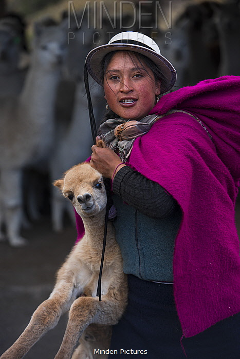 Indigenous woman with baby on back, carrying Alpaca baby (Vicugna pacos), Pulingue San Pablo community, Chimborazo Province, Andes, Ecuador. August 2016.