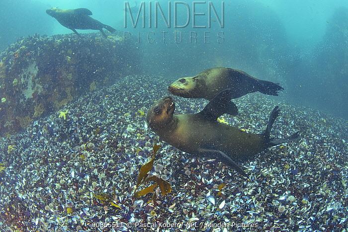Brown fur seals / Cape fur seals (Arctocephalus pusillus) playing together, Western Cape, South Africa. Atlantic Ocean.