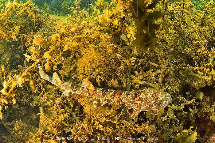 Puffadder shyshark (Haploblepharus edwardsii) in algae, Western Cape, South Africa. Atlantic Ocean.