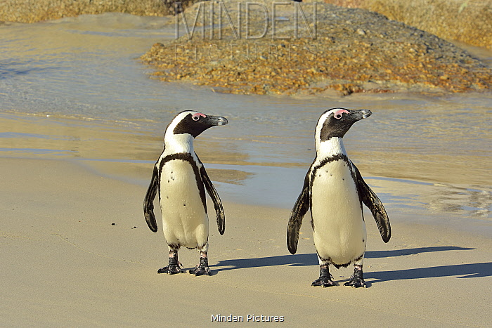 Two African / Cape penguins (Spheniscus demersus) on the beach near Simon's Town, Western Cape, South Africa. Atlantic Ocean.