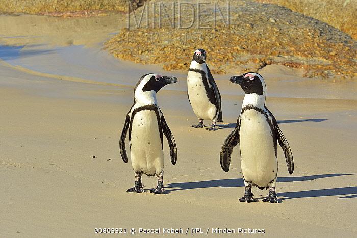Three African / Cape penguins (Spheniscus demersus) on the beach near Simon's Town, Western Cape, South Africa. Atlantic Ocean.