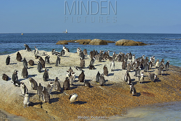Colony of African / Cape penguins (Spheniscus demersus) near Simon's Town, Western Cape, South Africa. Atlantic