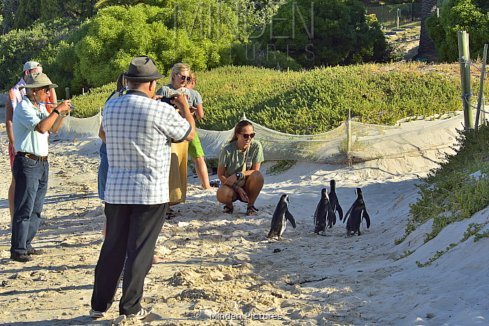 African / Cape penguins (Spheniscus demersus) on the beach with tourists near Simon's Town, Western Cape, South Africa. Atlantic Ocean.