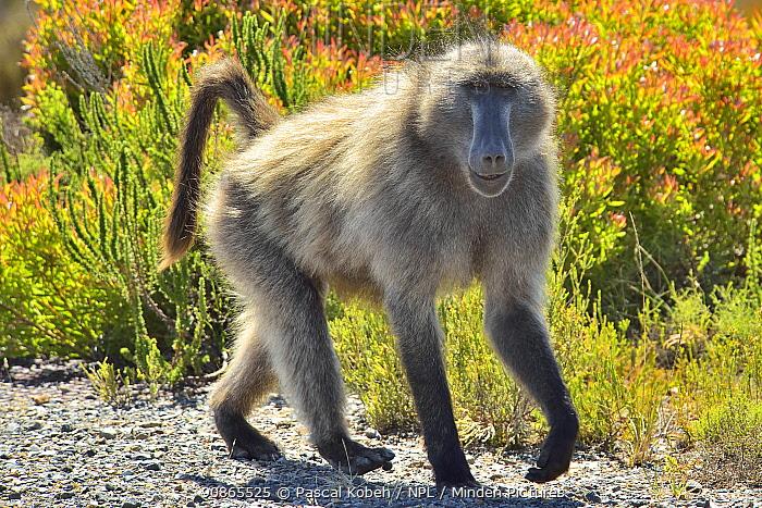 Chacma baboon / cape baboon (Papio ursinus) Cape peninsula , Western Cape, South Africa. Atlantic Ocean.
