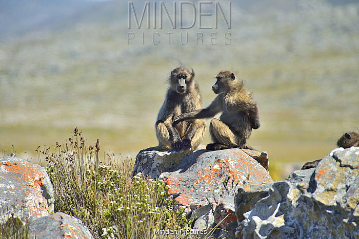 Two Chacma baboons (Papio ursinus) in the Cape peninsula , Western Cape, South Africa. Atlantic Ocean.