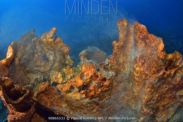 Giant sponge (Xestospongia sp.) releasing its gametes, Indonesia, Sea of Flores