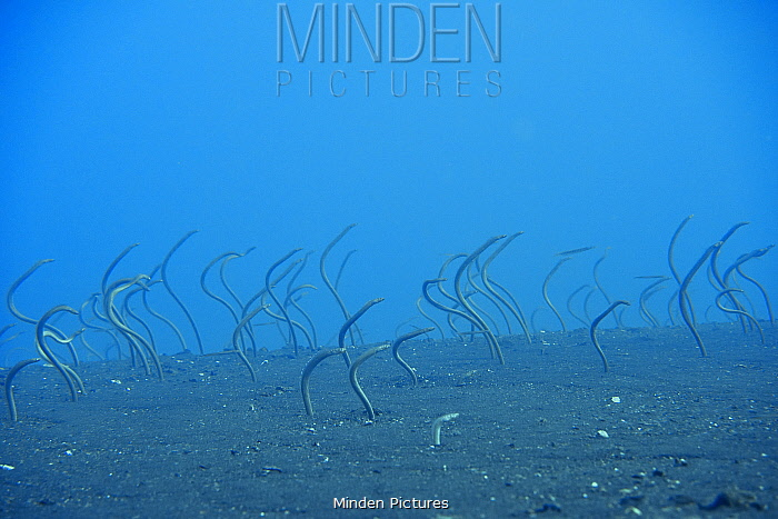 Field of Whitespotted / Spaghetti garden eels (Gorgasia maculata), Indonesia, Sea of Flores