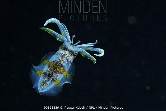 Bigfin reef squid (Sepioteuthis lessoniana) swimming at night, Indonesia, Sea of Flores
