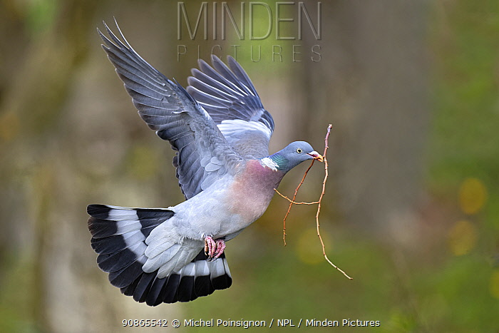 Wood pigeon (Columba palumbus) flying with nesting material in beak - Lorraine, France, April