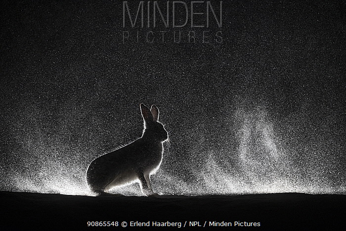 Mountain hares (Lepus timidus) backlit in snow at night, Vauldalen, Norway, March.