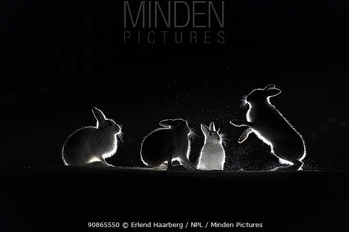 Mountain hares (Lepus timidus) backlit in snow at night, Vauldalen, Norway, April