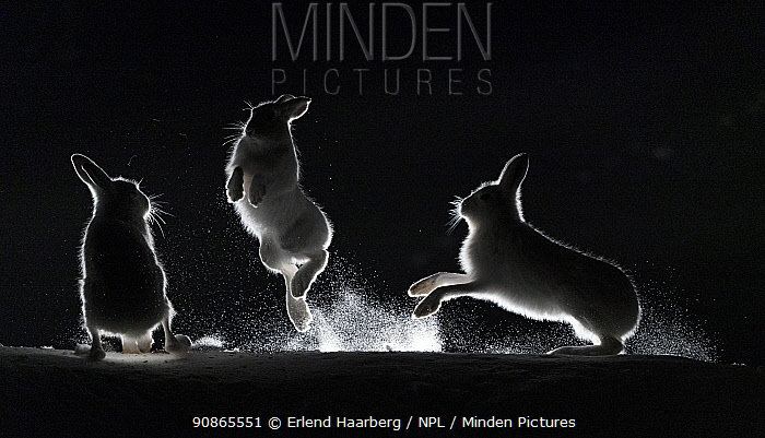 Mountain hares (Lepus timidus) fighting in snow at night, Vauldalen, Norway, April.