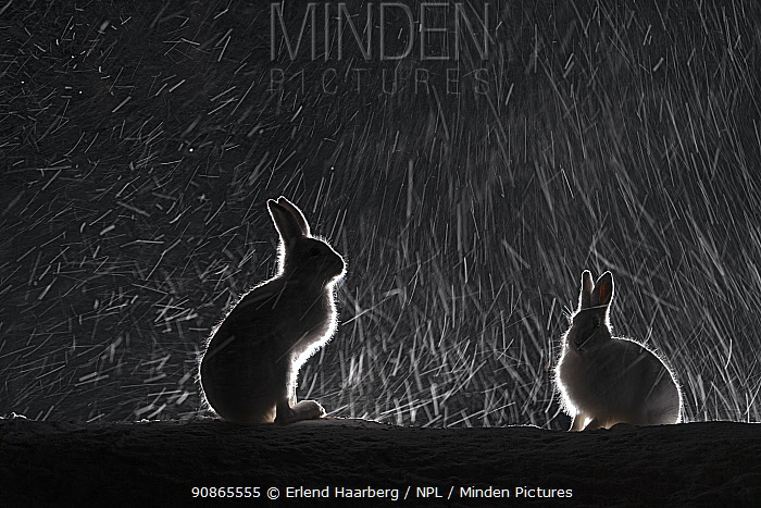 Mountain hares (Lepus timidus) backlit in snow at night, Vauldalen, Norway, April.