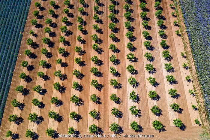 Aerial view of fruit tree plantation, Valensole plateau, Alpes de Haute Provence, France, June 2020.