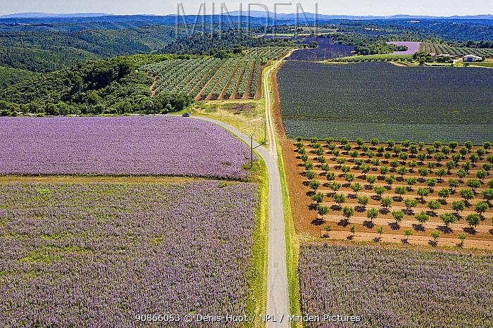 Lavender (Lavandula sp) and Clary sage (Salvia sclarea) field, Valensole plateau, Alpes de Haute Provence, France, June 2020.