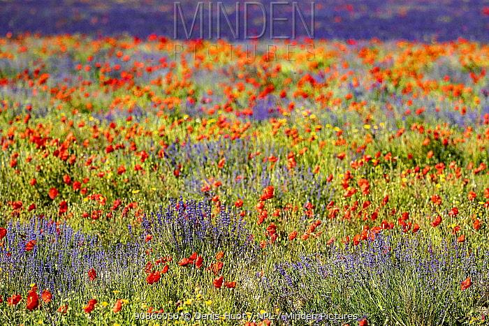 Lavender (Lavandula sp) field and poppies (Papaver rhoeas), near Sault, Vaucluse, France