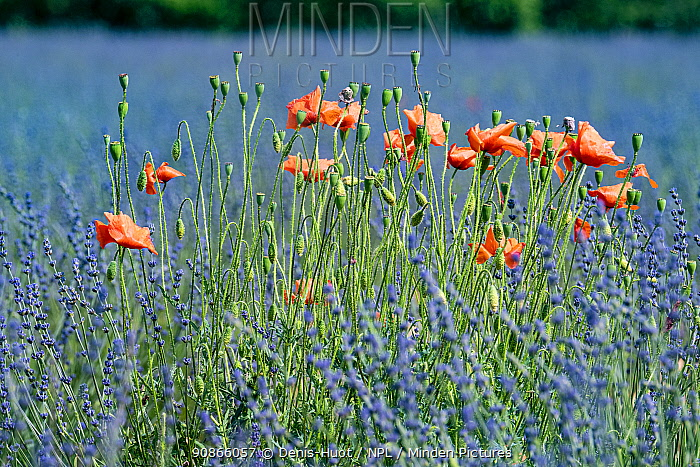 Poppies (Papaver rhoeas) in lavender field, near Sault, Vaucluse, France, September.